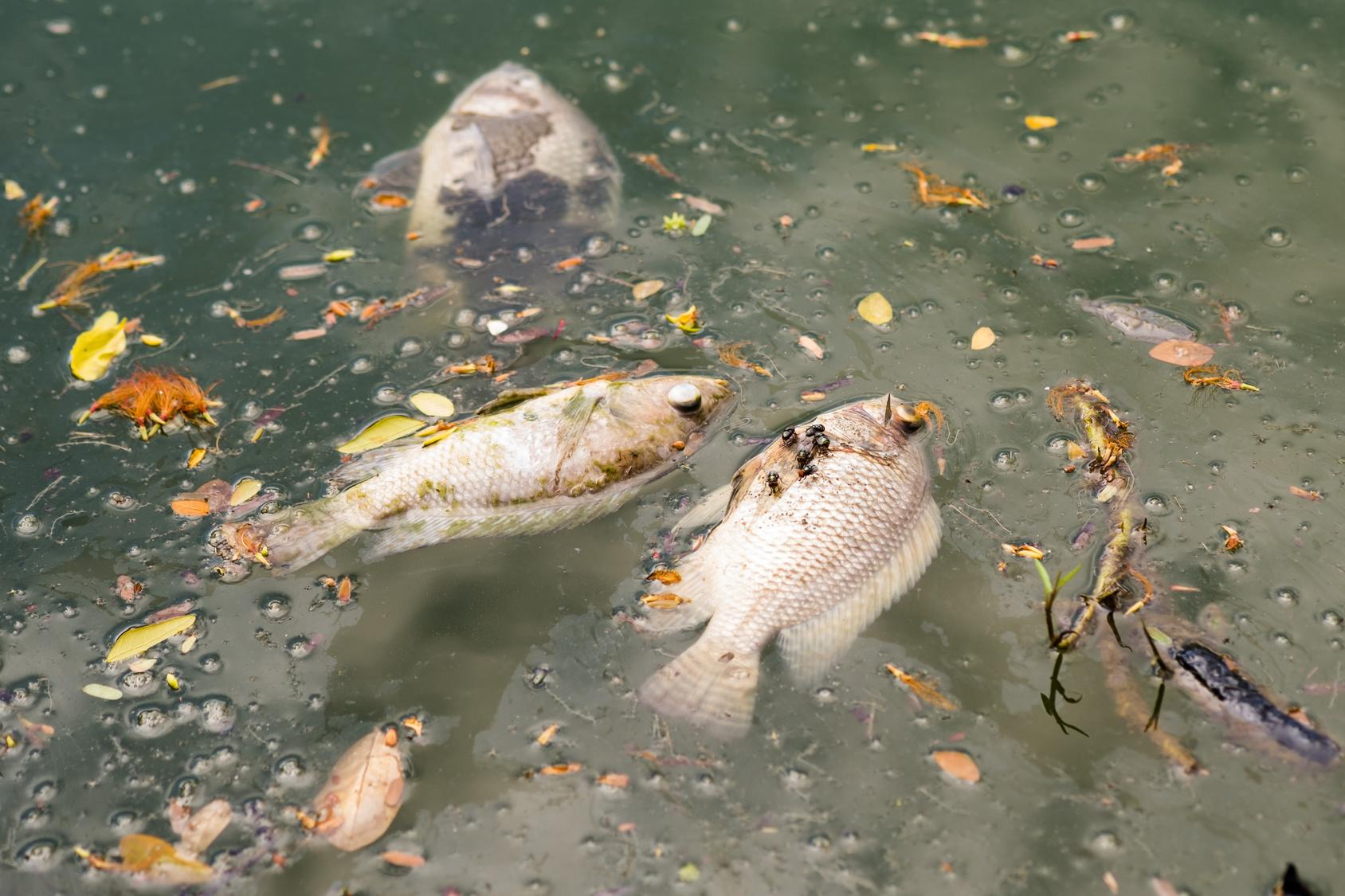 Doud Fësch Tote Fische